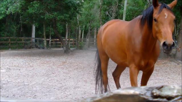 cavallo marrone scuotendo la polvere dal cappotto - stallone video stock e b–roll