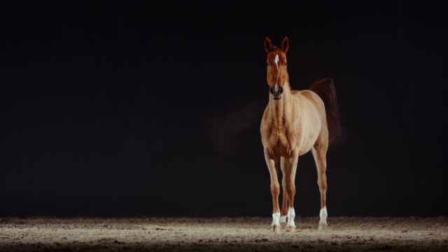 slo mo brun häst stående och avföring i ridhall - racehorse track bildbanksvideor och videomaterial från bakom kulisserna