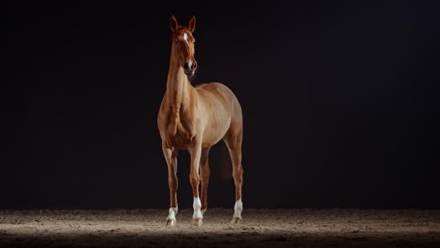 slo mo brun häst som står i ridhus på natten - racehorse track bildbanksvideor och videomaterial från bakom kulisserna