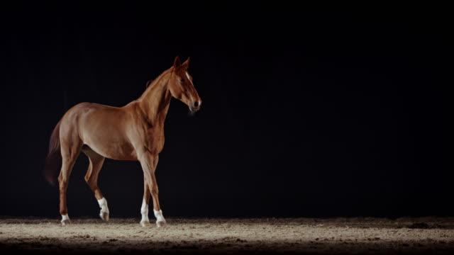 slo mo brun häst som står i ridhuset på natten - racehorse track bildbanksvideor och videomaterial från bakom kulisserna