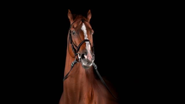 slo mo браун лошадь шагая от черного фона - одно животное стоковые видео и кадры b-roll