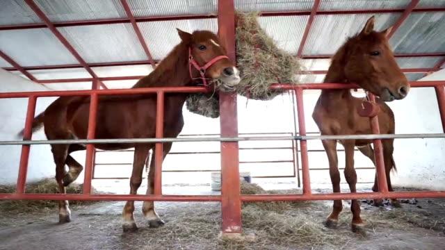 brown horses eating hay in stable video