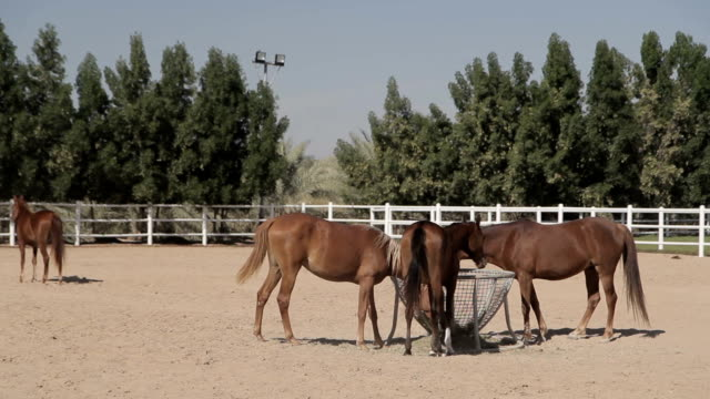 brown horses in the corral brown horses walk in the corral and eating hay. Green trees in the background corral stock videos & royalty-free footage