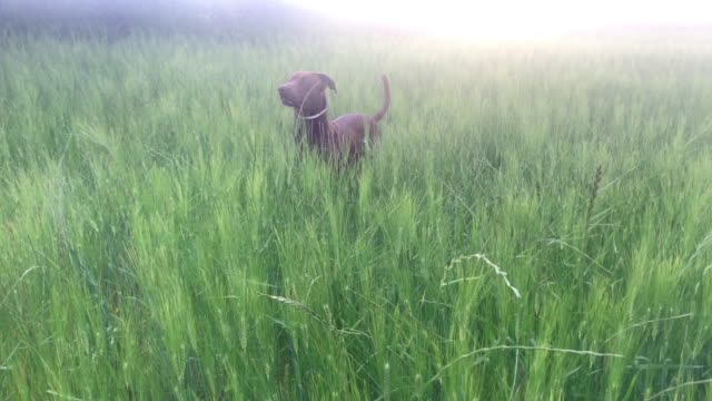 Brown hunting dog frolicking and jumping among tall green spikes bathed by the mid-afternoon sun. Canine happiness concept Brown hunting dog frolicking and jumping among tall green spikes bathed by the mid-afternoon sun. Canine happiness concept sorpresa stock videos & royalty-free footage