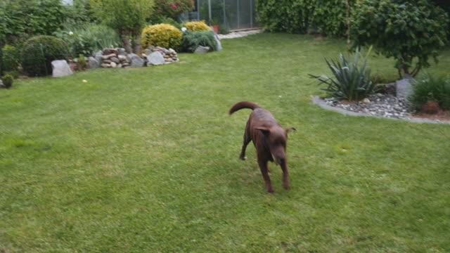 vídeos de stock, filmes e b-roll de esfera de fetching do laboratório de brown no quintal - cauda