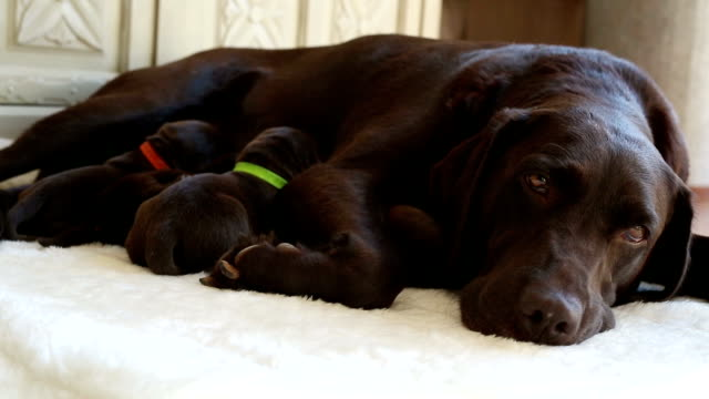 brown labrador and her little  puppies video