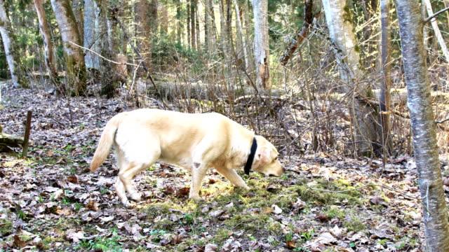 森の上を歩く茶色のラブラドールレトリバー犬 ビデオ
