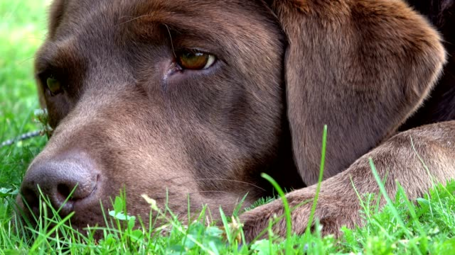 Brown Labrador retriever is tired in the gras, 4K video