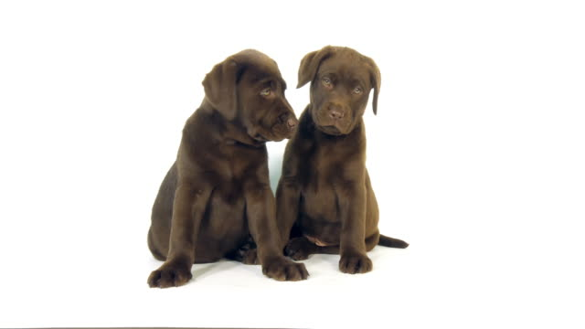 Video Brown Labrador Retriever, Puppies on White Background, Licking, Normandy, Slow Motion 4K