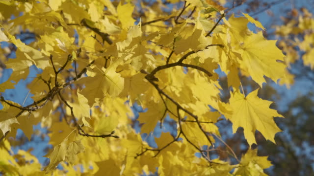 vídeos de stock e filmes b-roll de brown leaves on blue sky. - setembro