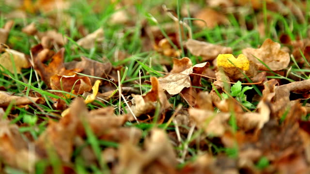 Brown leaves on green grass, dolly
