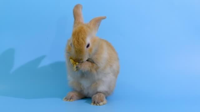 kahverengi küçük sevimli tavşan tavşan standı ve mavi ekran arka plan üzerinde ayağını temiz - tavşan hayvan stok videoları ve detay görüntü çekimi