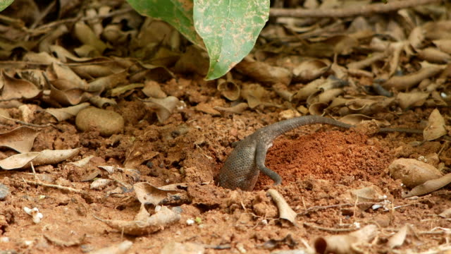 Brown lizard digging soil for spawning Brown lizard digging soil for spawning in ground reptile stock videos & royalty-free footage