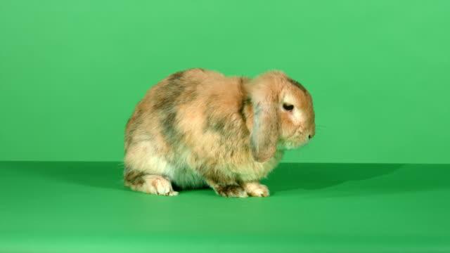 brown lop-eared rabbit on green screen background - tavşan hayvan stok videoları ve detay görüntü çekimi