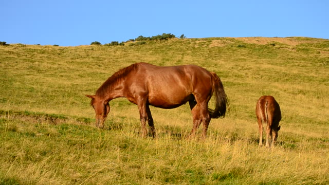 Brown mare and foal grazing in late summer in Mountains video