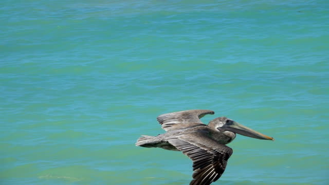 SLOW MOTION, CLOSE UP: Brown Mexican pelican flying close above the sea surface SLOW MOTION, CLOSE UP: Stunning brown Mexican pelican flapping wings flying close above the sea surface, Yucatan peninsula, Mexico. Detail of beautiful wild bird soaring in the sky above the ocean pelican stock videos & royalty-free footage