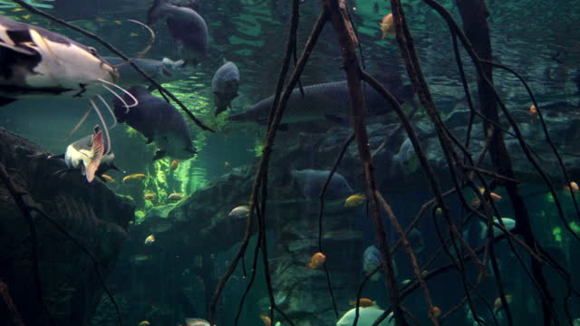 Brown pacu and retail catfish swimming past the camera in aquarium. Large brown pacu and retail catfish swimming past the camera in the foreground in aquarium with different freshwater fishes. Environmental protection and world oceans day concept. freshwater stock videos & royalty-free footage