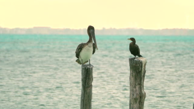 Brown Pelican and Double-Crested Cormorant Brown Pelican and Double-Crested Cormorant, Isla Mujeres, Mexico pelican stock videos & royalty-free footage