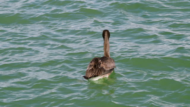 Brown Pelican in the Sea, Yucatan, Mexico video
