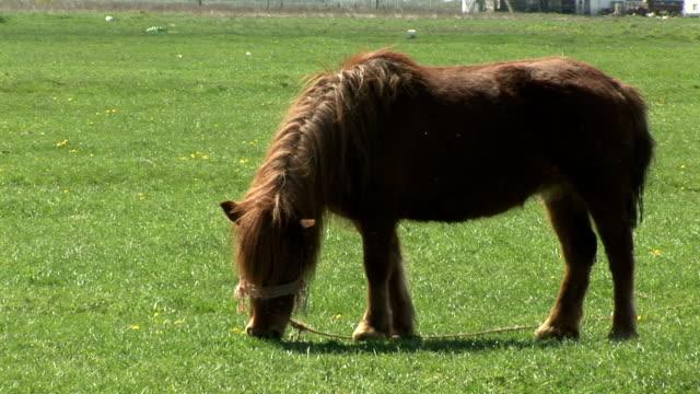 Brown pony grazing in green field