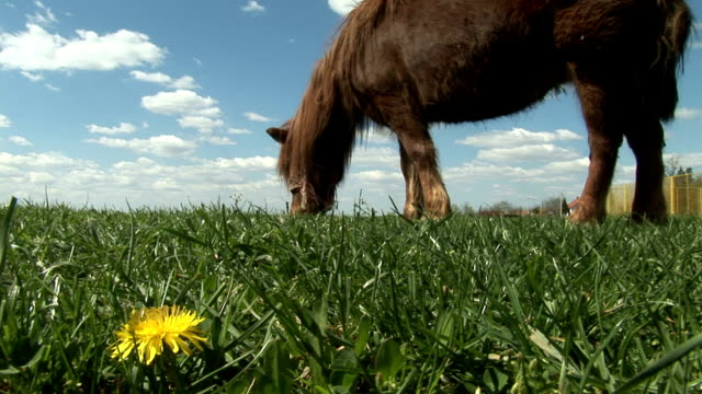 Brown pony grazing in green field with yellow dandelions and blue sky with white