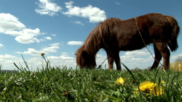 Brown pony grazing in green field with yellow dandelions