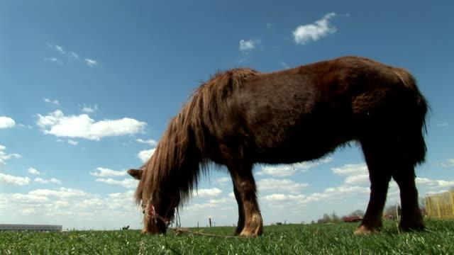 Brown Pony Grazing On Juicy Grass