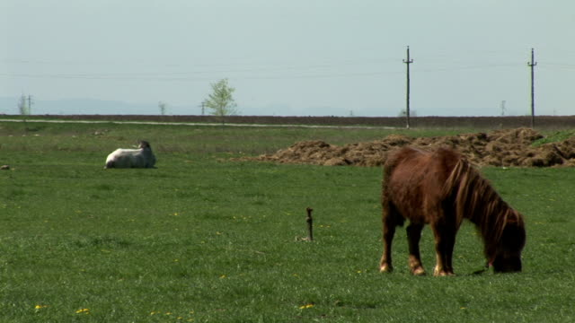 Brown pony grazing on the field while the white horse lies behind him