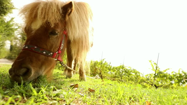 brown pony is eating grass in the back of the camera, pony is eating grass, close-up video