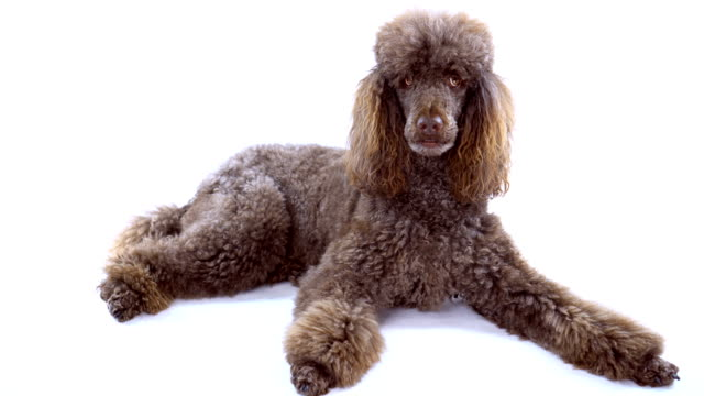 4K Brown Poodle Laying Down On White Background