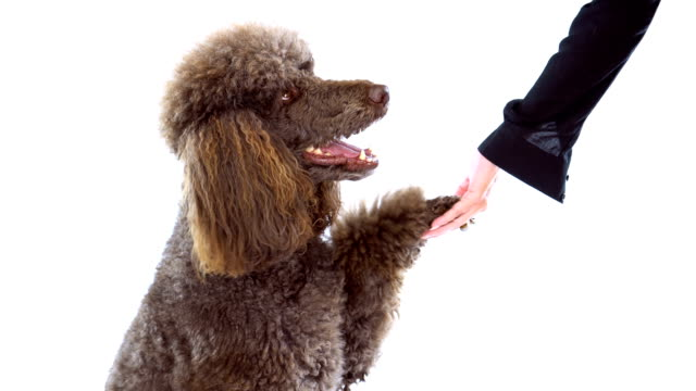 4K Brown Poodle Shaking Women's Hand On White Background