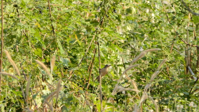 Brown Prinia bird on branch in wetland. video