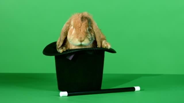 brown rabbit inside a top hat, and a magic wand on green screen background - tavşan hayvan stok videoları ve detay görüntü çekimi