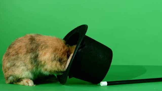 brown rabbit, top hat and a magic wand on green screen background - tavşan hayvan stok videoları ve detay görüntü çekimi