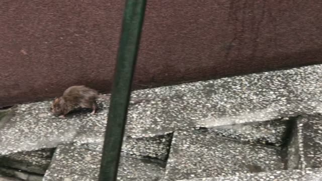 kahverengi fare şehir - kemirgen stok videoları ve detay görüntü çekimi