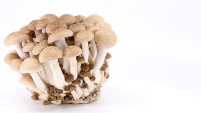 vidéos et rushes de champignons shimeji bruns (hon-shimeji, bunna-shimeji), séquences vidéo panoramiques. - sky