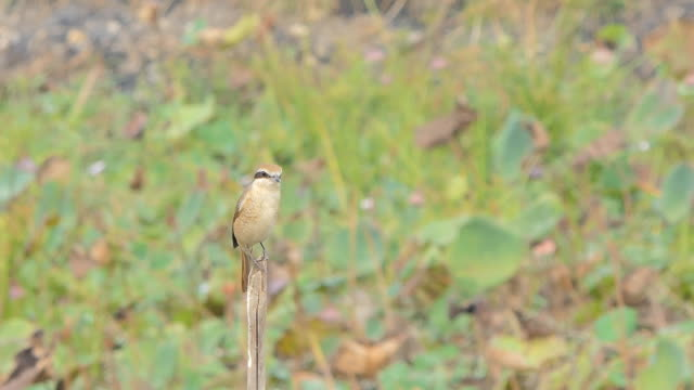 Brown shrike bird on branch in wetland. video