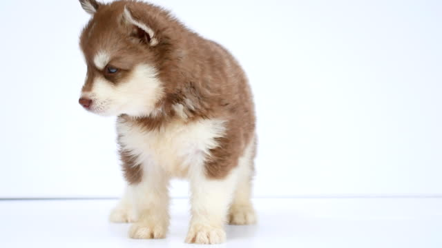 brown siberian husky puppy white background video