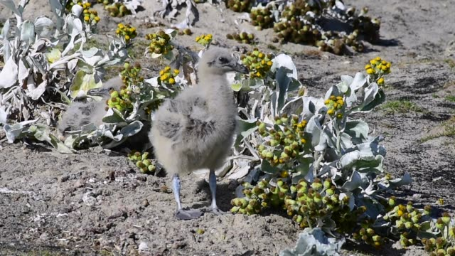 Brown Skua chick in grass video