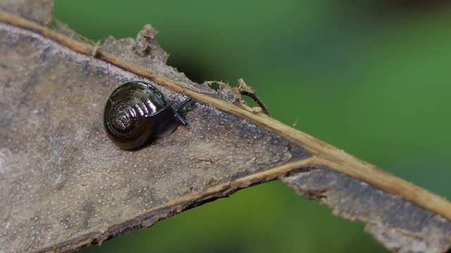 Brown snail crawling on leaf in tropical rain forest. video