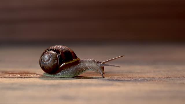 Brown snail gliding on dark brown wooden background