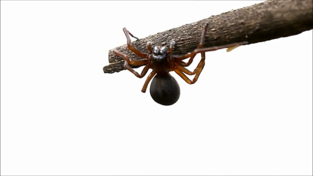 Brown spider isolated video