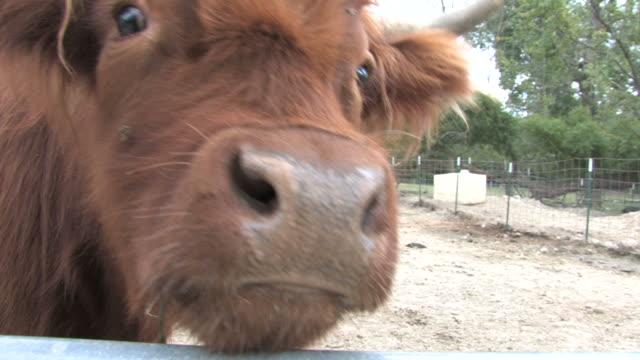 Brown steer 5 - HD 1080/30f video