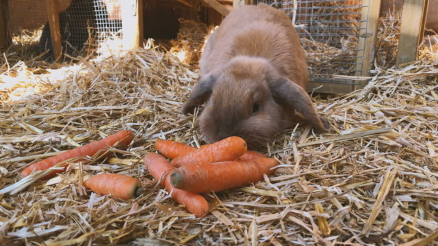 ウサギのハッチで新鮮なニンジンを食べる茶色の甘いウサギ ビデオ