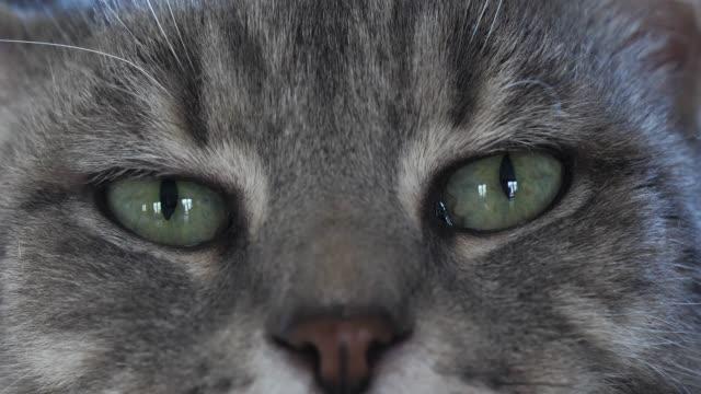brown tabby domestic cat, close-up of eyes, real time 4k - głowa zwierzęcia filmów i materiałów b-roll