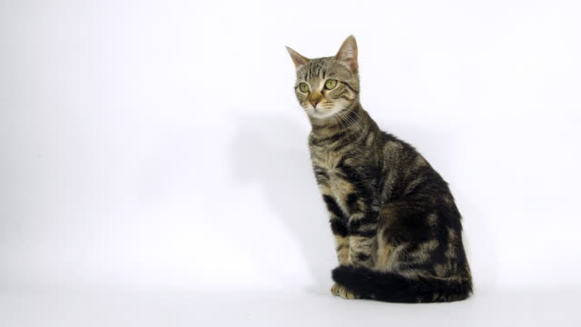 brown tabby domestic cat, pussy sitting on white background, slow motion 4k - soltanto un animale video stock e b–roll