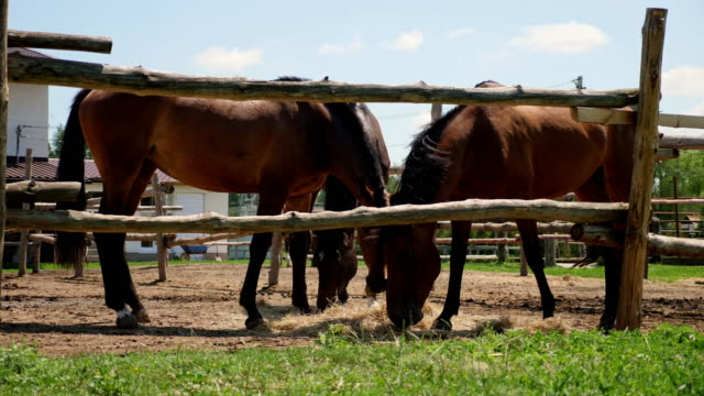 Brown thoroughbred horses in the paddock outdoors Brown thoroughbred horses grazing in a paddock outdoors. Sunny summertime paddock stock videos & royalty-free footage