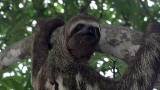 ブラウン のど 、ミユビナマケモノ、ペルーのアマゾン川、ペルー - 怠惰点の映像素材/bロール