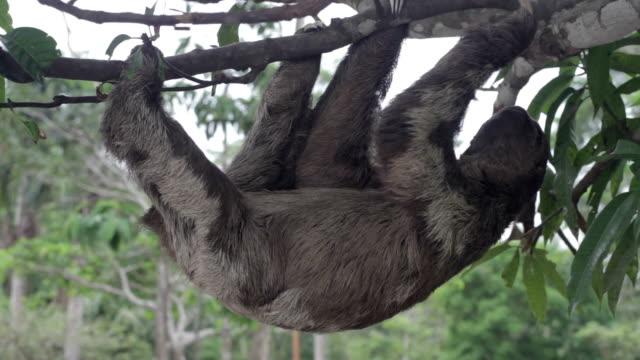 vídeos de stock e filmes b-roll de castanha de garganta, a preguiça-de-três-dedos, amazónia peruana, peru - lento
