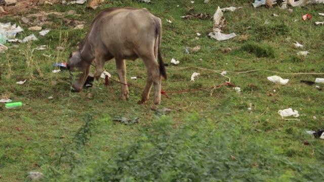 Brown young buffalo grazing on grass